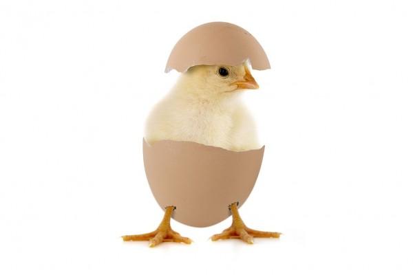 دانلود صدای جوجه مرغ