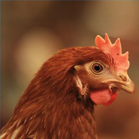 دانلود صدای مرغ [ قد قد کردن مرغ ]
